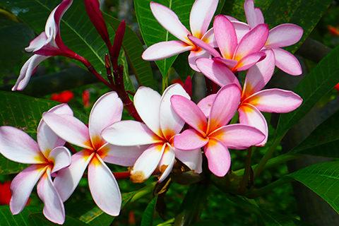 Thailand Blume