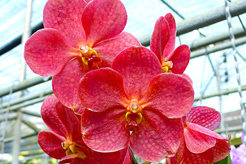 Rote Orchidee, Thailand